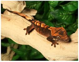 Halloween Crested Gecko Morph by 65 Best Gecko Images On Pinterest Crested Gecko Lizards