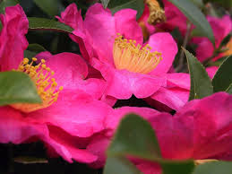plants native to japan camellia wikipedia