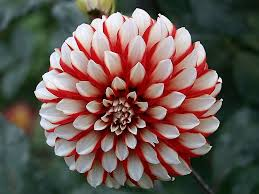 dahlias flowers cap n bob the damsel a and white dahlia