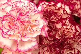Red Carnations Carnation Flower Meaning Flower Meaning