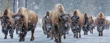 Montana wildlife tours images Yellowstone winter wolf tours yellowstone wolf tour jpg