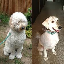 goldendoodle before u0026 after haircut d grover doodle