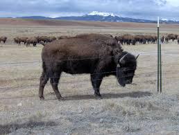 file buffalo colorado jpg wikimedia commons