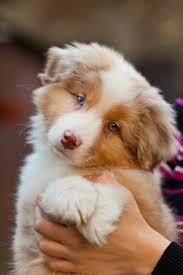 australian shepherd puppy best 20 red merle australian shepherd ideas on pinterest aussie