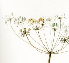 queen anne u0027s lace giant hogweed painting fine art print