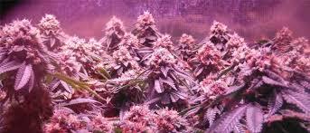 Best 25 Marijuana Grow Lights by How To Grow Weed Indoors U2013 The Definitive Guide