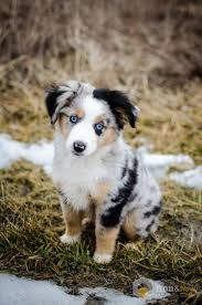 australian shepherd 11 weeks old my friend u0027s 10 week old miniature australian shephard aww