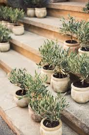 best 25 olive tree ideas on indoor olive tree indoor