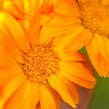 Calendula Flowers Calendula Seeds Ball U0027s Improved Orange Planet Natural