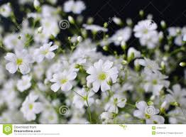 baby s breath flower gypsophila baby s breath flowers light airy masses of small