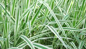 how to plant care for ornamental grass garden guides