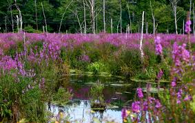 plants native to massachusetts throw out the thugs u2013 reduce your stormwater