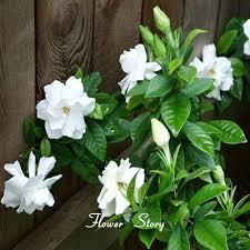 Fragrant Jasmine Plant - 30pieces white jasmine seeds fragrant plant arabian jasmine