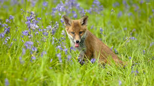 sleeping red fox wallpapers tired fox between purple blossoms wallpaper animal wallpapers