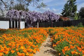 native plant garden design download california native plants for the garden solidaria garden
