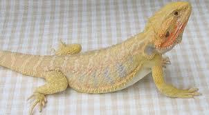 bearded dragon morphs album imgur