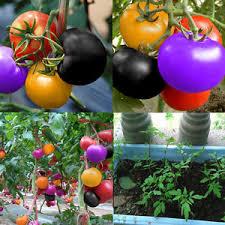 100pcs rainbow tomato seeds ornamental potted vegetable seed