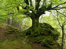 bonsai saule pleureur fagus sylvatica bonsai pinterest bonsai