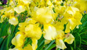 bearded iris care how to avoid common growing problems american