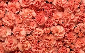 carnations flowers this is why carnations are the best wedding flower
