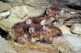 Tennessee wild animals images Wildlife officials ignore return of mountain lions to the blue jpg