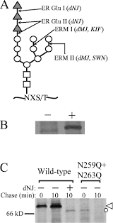 transient calnexin interaction confers long term stability on