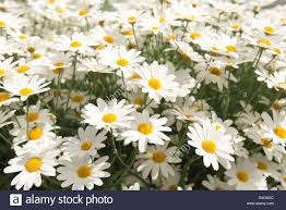 Pretty Plants by Collection And Clump Of Lots Of Pretty Oxeye Daisy Plants Flowers