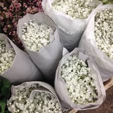 baby s breath wholesale gypsophila baby s breath available in bunches of 5 stems from