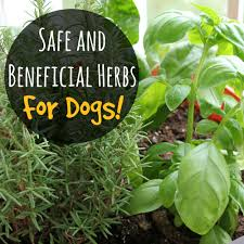 indoor herbs to grow safe and beneficial herbs for dogs