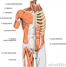 Human Body Chest Anatomy Upper Body Muscle Chart Upper Body Muscle Diagram Anatomy Human
