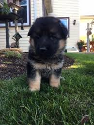 belgian sheepdog puppies for sale in pa german shepherd puppies for sale lancaster puppies