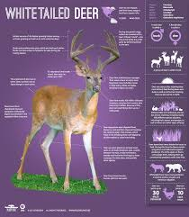 the private life of deer infographic learn about the