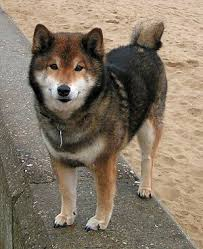 What Breed Is Doge Meme - doge meme wikivisually