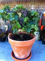 pixie u0027 grape tabletop grapevine that stays dwarf and produces