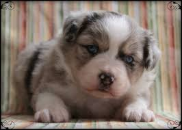 australian shepherd dog puppies miniature australian shepherd puppies az