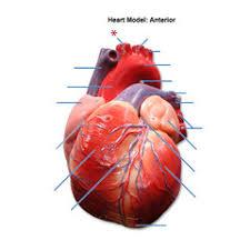 Sheep Heart Anatomy Quiz Human Anatomy Heart Anatomy Quiz Hemoglobin Increases Oxygen