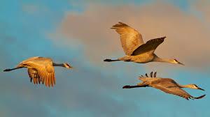 a sandhill crane migration