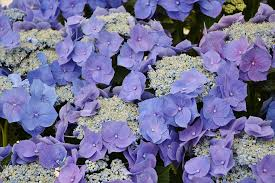 purple and blue flowers hydrangea images pixabay free pictures