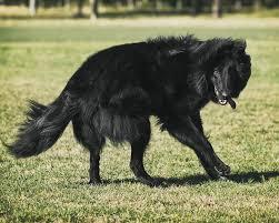 belgian sheepdog training dog training a belgian shepherd groenendael