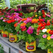 Zinnias Flowers Nice Zinnias Flower Garden 17 Of 2017s Best Zinnia Garden Ideas On