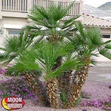 mediterranean fan palm tree mediterranean fan palm palm tree moon valley nurseries