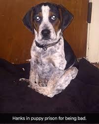 buy a bluetick coonhound puppy training a dog on rabbits michigan sportsman online michigan