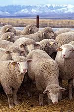 animali da cortile definizione bestiame