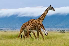 10 fun facts about giraffes