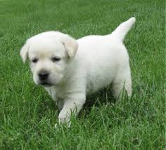 affenpinscher and chihuahua affenpinscher dogs sale classified by nathaliesaunders22