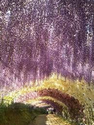 japan flower tunnel wisteria flowers tunnel japan inspirations pinterest wisteria