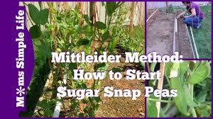 mittleider method how to start sugar snap peas youtube