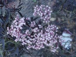 edible california native plants california native gardens garden in the hills