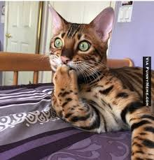 Omg Memes - how and why to ramble on your domestic shorthair page 1244