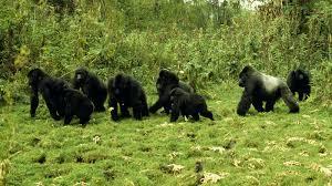 pin by mumkin studio on gorilla badge pinterest